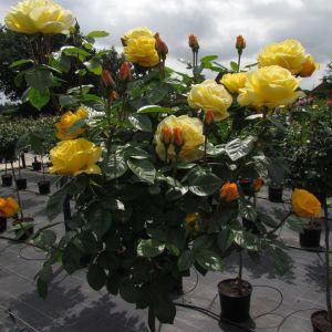 Arthur Bell Standard Rose
