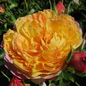 Belle de Jour - Rose of the year 2021