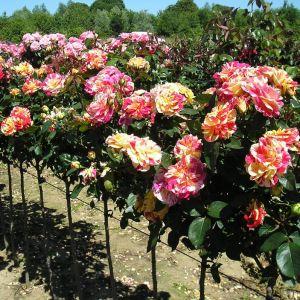 Brushstrokes Standard Rose