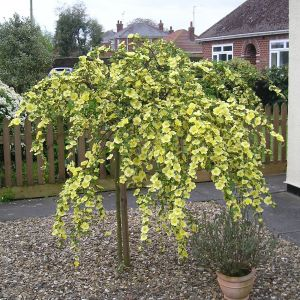 Canary Bird Weeping Standard Rose