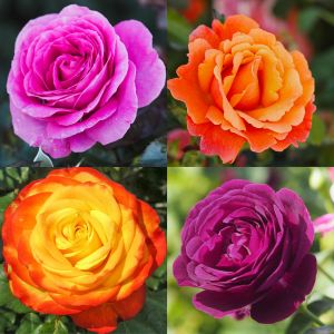 Bright Colours Rose Container Collection