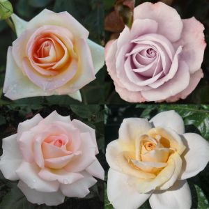 Pastel Colours Rose Container Collection
