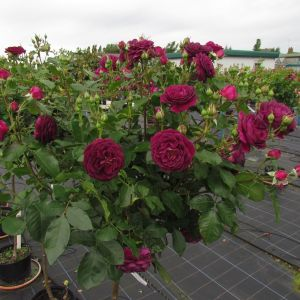 Ebb Tide Standard Rose