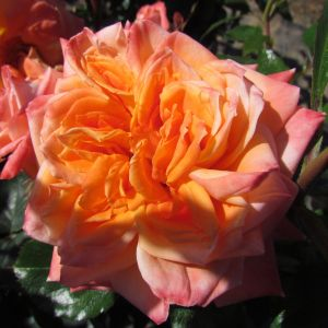 Name A Rose #003