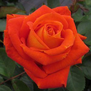 Name A Rose #004