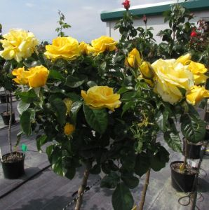 Happy Golden Wedding Standard Rose