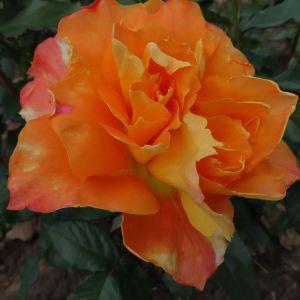 Name A Rose #002