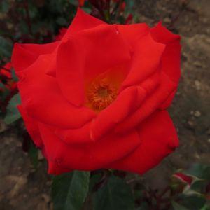 Name A Rose #005