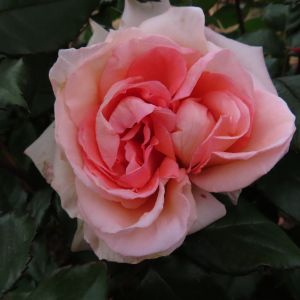 Name A Rose #006