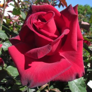 Name A Rose #009