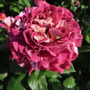 Rachael's Rose