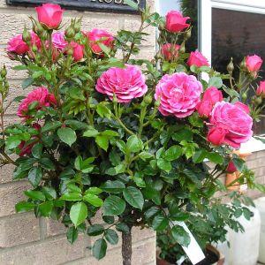 Rebecca Standard Rose