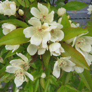 Rosa Banksia Normalis