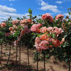 Sweet Jessica Standard Rose