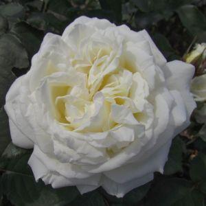 White Parfum de Provence