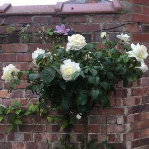 White Parfum de Provence Standard Rose