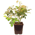 Potted Bush Happy Golden Wedding
