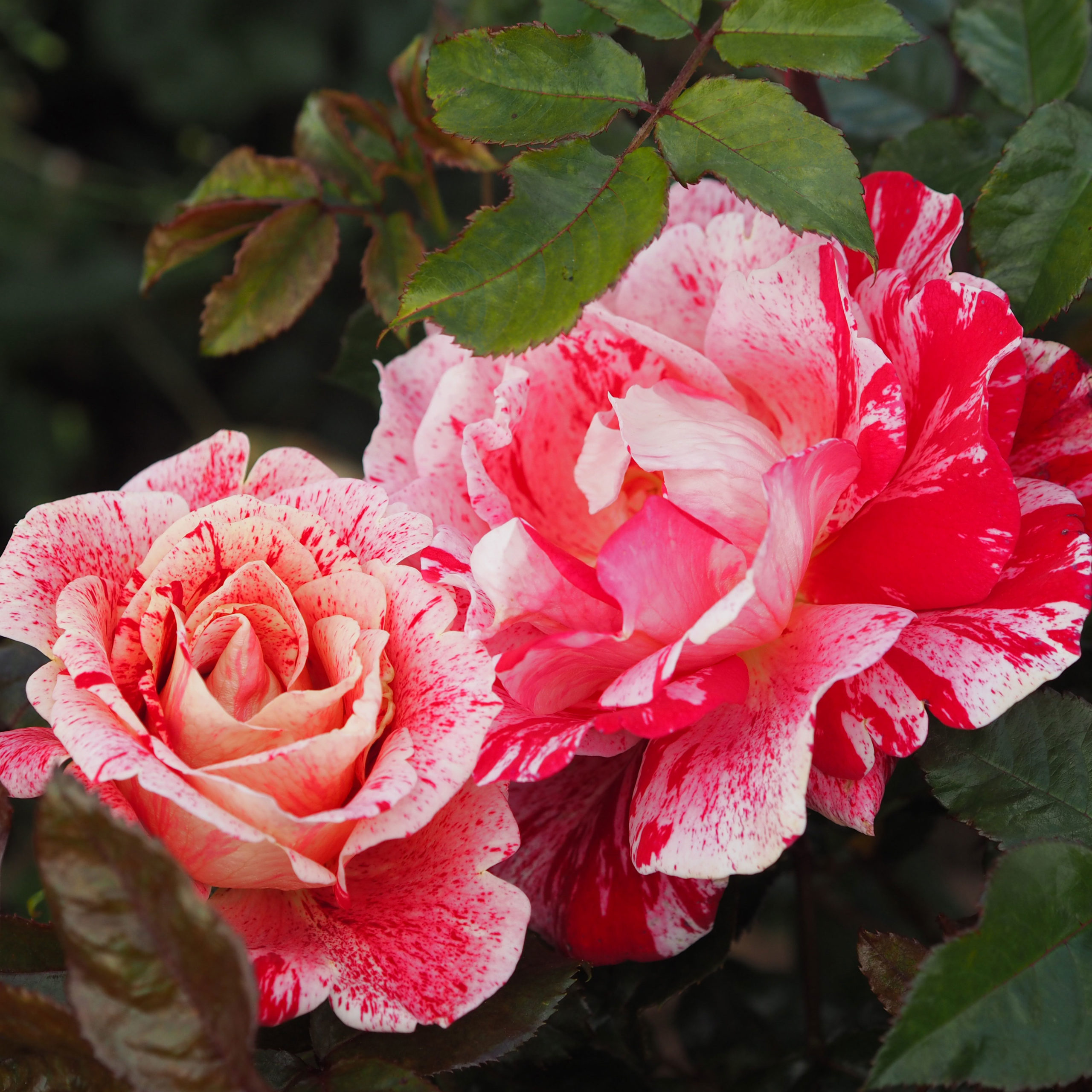 Planting Roses into the Garden