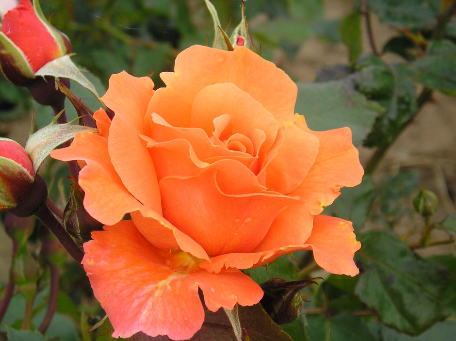 Our Top Ten Tips For Healthy Roses